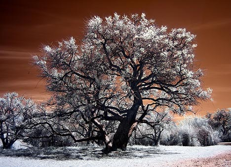 infrared tree photo