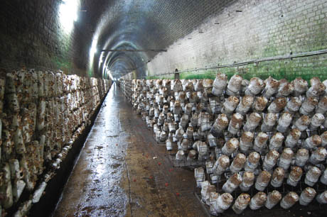 86 Shitake logs in tunnel
